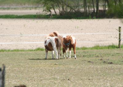 Pony weide